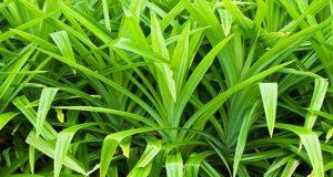 Mencegah kutu dan bau pada pakan merpati dengan daun pandan