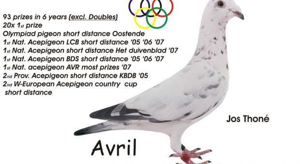 """Profil """"AVRIL"""" Merpati termahal di Dunia"""