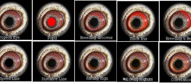 Mempelajari Eye sign pada burung merpati