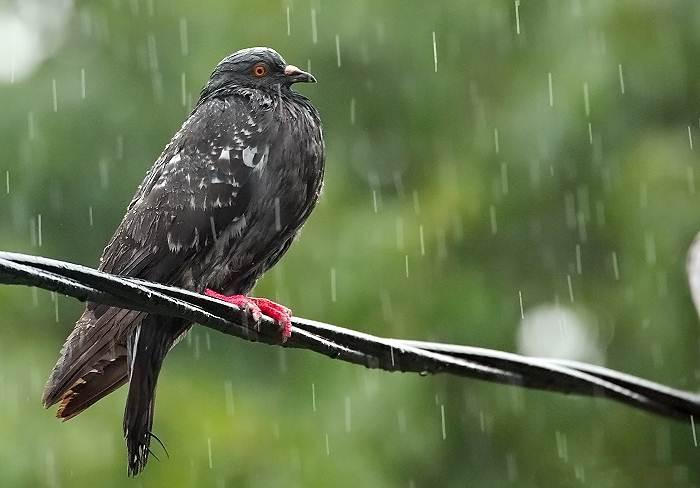 Kenapa Burung merpati Sakit?