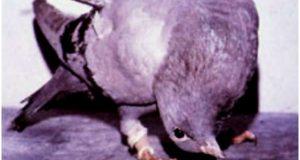 Cara mencegah dan mengobati penyakit tetelo pada burung merpati