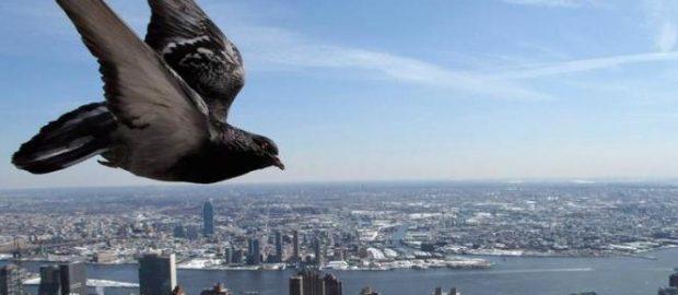 Cara hitung kecepatan burung merpati pos